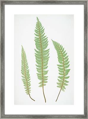 Polystichum Aculeatum Lobatum Framed Print