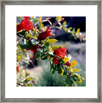 Framed Print featuring the photograph Pomegranate Forming by Kathy Bassett