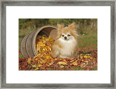 Pomeranian Dog Framed Print by Rolf Kopfle