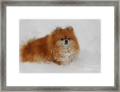 Pomeranian In Snow Framed Print by John Shaw
