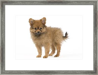 Pomeranian Puppy Dog Framed Print