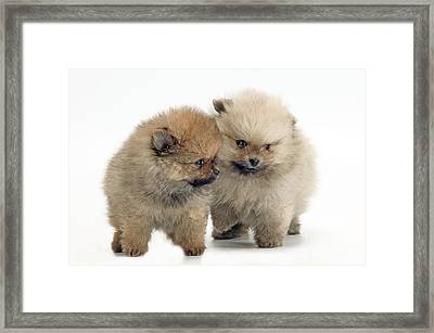 Pomeranian Puppy Dogs Framed Print by Jean-Michel Labat