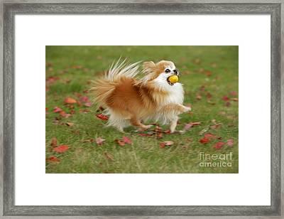 Pomeranian Running Framed Print by Rolf Kopfle