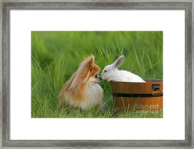 Pomeranian With Rabbit Framed Print by Rolf Kopfle