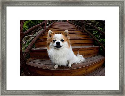 Pomeranian, Yuanyang, China Framed Print