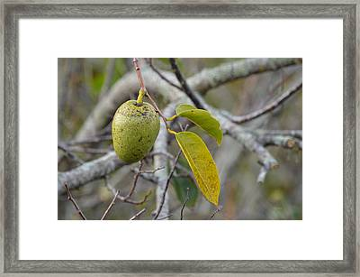 Pond Apple Annona Glabra Framed Print by rd Erickson