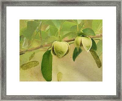 Pond Apple Framed Print by Grace Dillon