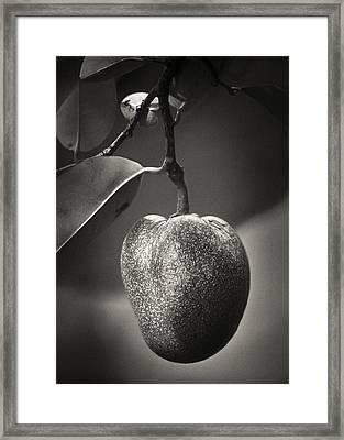 Pond Apple Framed Print by Patrick M Lynch