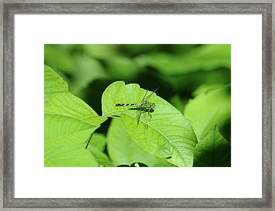 Pond Hawk Framed Print