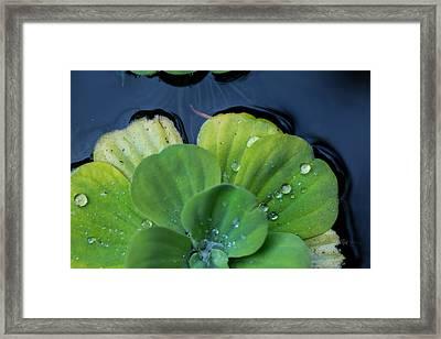 Pond Lettuce Framed Print by Eti Reid