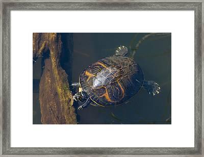 Pond Slider Turtle Framed Print by Rudy Umans