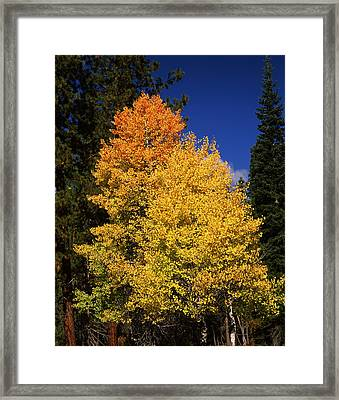 Ponderosa Pine With Aspen And Fir Trees Framed Print by Panoramic Images