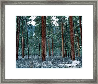 Ponderosa Pines In Snow, Deschutes Framed Print
