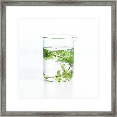 Pondweed Photosynthesis Framed Print
