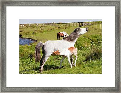 Ponies And Foal On Bodmin Moor Framed Print