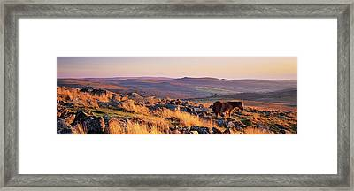 Pony At Staple Tor, Dartmoor, Devon Framed Print