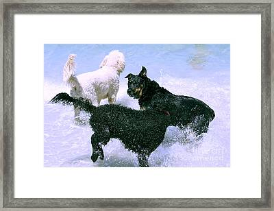 Pooch Play Framed Print by Cassandra Buckley