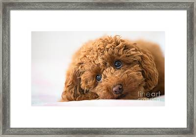 Poodle Framed Print by Maurizio Bacciarini