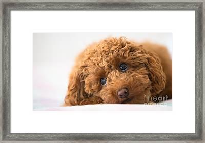 Poodle Framed Print