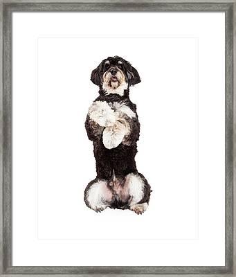Poodle Mix Breed Dog Begging Framed Print by Susan Schmitz