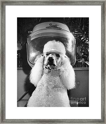 Poodle Perm Framed Print by ME Browning