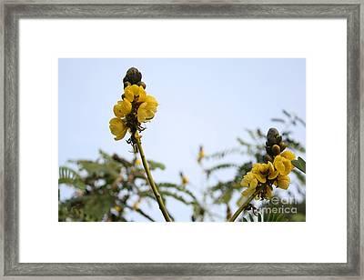 Popcorn Blossoms Framed Print by Crissy Boss