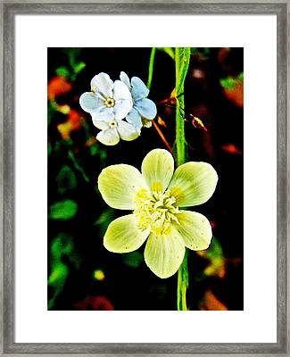 Popcorn Flower And Cream Cup In Park Sierra Near Coarsegold-california  Framed Print by Ruth Hager