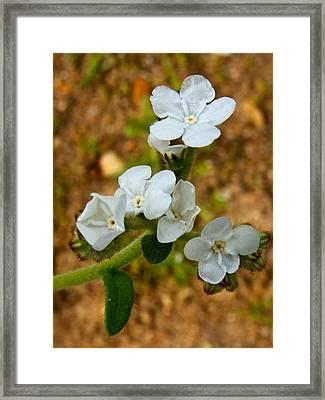 Popcorn Flower In Park Sierra-ca Framed Print by Ruth Hager