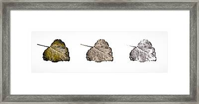 Poplar Leaf Fade To Black And White Framed Print by Greg Jackson
