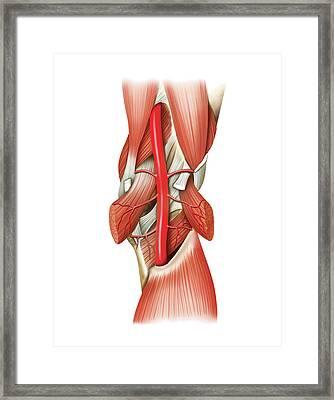 Popliteal Artery Framed Print by Asklepios Medical Atlas