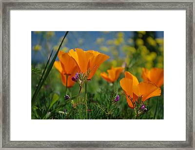 Poppies 2 Framed Print by Ken Dietz