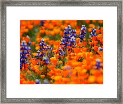 Poppies And Lupine Framed Print by Bill Keiran