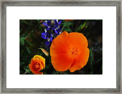 Poppies And Lupine Framed Print by Lynn Bauer