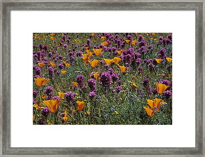 Poppies And Owl Clover Framed Print