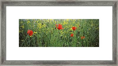 Poppies Blooming In Oilseed Rape Framed Print