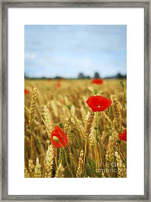 Poppies In Grain Field Framed Print