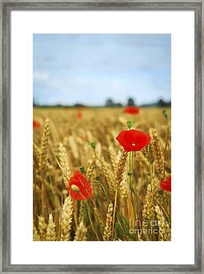 Poppies In Grain Field Framed Print by Elena Elisseeva