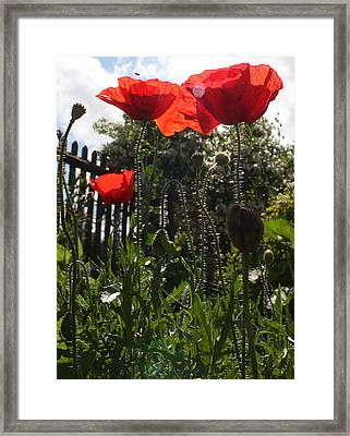 Poppies In The Sun Framed Print by Stephen Norris