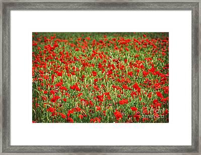 Poppies In Wheat Framed Print by Elena Elisseeva