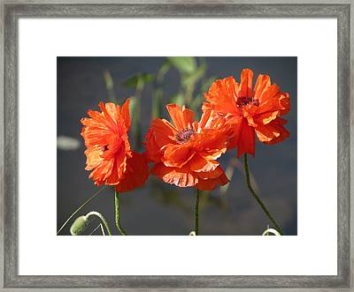 Poppies Framed Print by Rebecca Overton