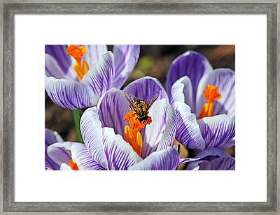 Framed Print featuring the photograph Popping Spring Crocus by Debbie Oppermann
