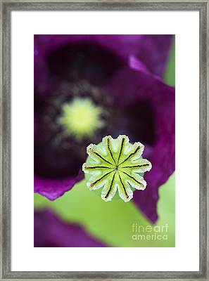 Poppy Abstract Framed Print by Tim Gainey