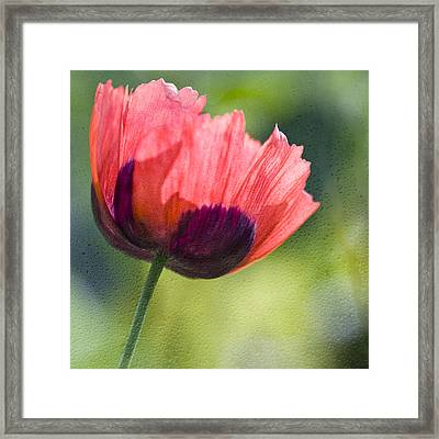 Poppy Backlit  Framed Print