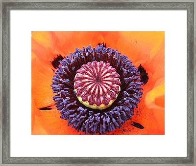 Poppy Delight Framed Print by Brian Chase