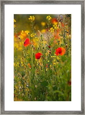 Poppy Delight  Framed Print by Roeselien Raimond