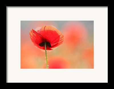 Poppies Framed Prints