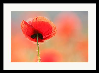 Poppy Flower Framed Prints