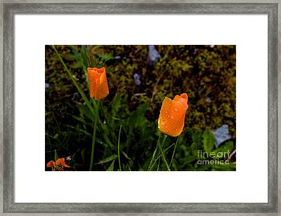 Poppy Drop Framed Print by Tim Rice