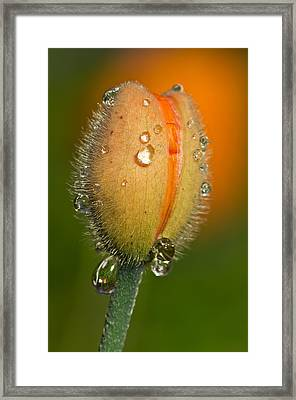 Poppy Drops Framed Print