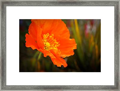 Poppy Emerges Like The Sun Framed Print by Ronda Broatch